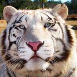Tiger's close up