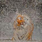 busaba-indochinese-tiger_62797_600x450
