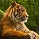 grand tiger