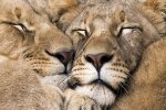 Cuddly Leos
