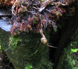 Little native rainforest snail