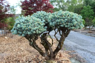 071_topiary_globe_blue_spruce