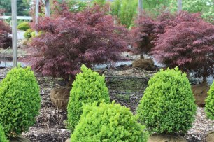 076_boxwoods_and_japanese_maples