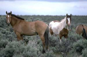Mustangs photographed by a BLM employee, sourced via WikiCommons