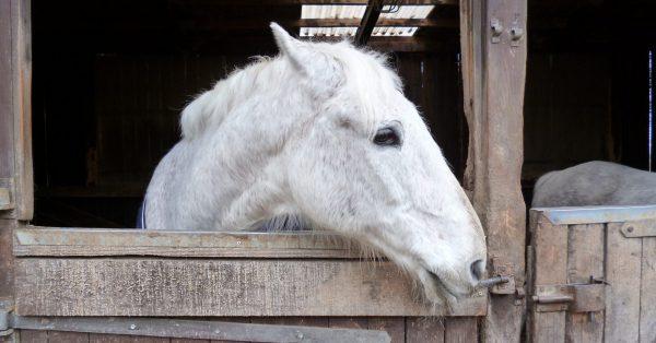 Pferdestall, ein Schimmel schaut erwartungsvoll nach rechts aus seinem Unterstand heraus