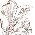 Amaryllis II - Zeichnung von Susanne Haun - 20 x 20 cm - Tusche auf Bütten
