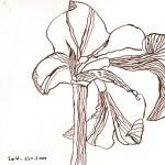 Amaryllis III - Zeichnung von Susanne Haun - 20 x 20 cm - Tusche auf Bütten