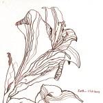 Amaryllis IV - Zeichnung von Susanne Haun - 20 x 20 cm - Tusche auf Bütten