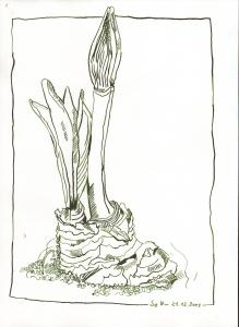 Amaryllis Teil 1 - Zeichnung von Susanne Haun - 30 x 20 cm