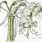 Verblühte Amaryllis - Zeichnung von Susanne Haun - 20 x 30 cm - Tusche auf Öl- Acrylpapier