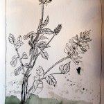 Entstehung Zeichnung Lupinen - Foto von Susanne Haun