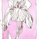 Schwertlilie 2 - Zeichnung von Susanne Haun - 24 x 17 cm - Tusche auf Hahnemühle William Turner