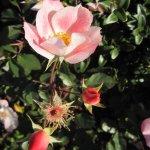 Wildrose - Foto von Susanne Haun