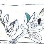 Fresie von Gerda - Zeichnung von Susanne Haun - 10 x 15 cm - Tusche auf Bütten