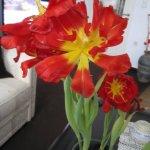 Tulpen - Foto von Susanne Haun