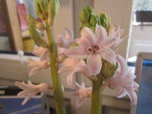 Die Hyazintenblüten brechen auf - Foto von Susanne Haun