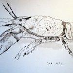 Flusskrebs - Zeichnung von Susanne Haun - 24 x 32 cm - Tusche auf Bütten