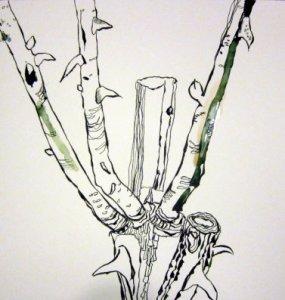 Entstehung Rosenstöcke grün - Zeichnung von Susanne Haun - 25 x 25 cm - Tusche auf Bütten