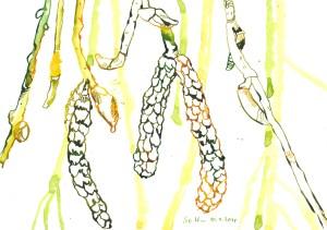 Haselnussblüten - Zeichnung von Susanne Haun - 17 x 22 cm - Tusche auf Bütten
