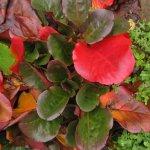 Die Blätter sind in einem schönen Krapprot - Foto von Susanne Haun