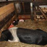 Hausschwein mit Ferkel - Foto von Susanne Haun