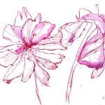 Mandelblüten 17 x 22 cm (c) Zeichnung von Susanne Haun