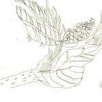 Lindenblätter Version 4 (c) Skizze von Susanne Haun