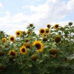 Die Sonnenblumen laden zum Zeichnen ein (c) Foto von Susanne Haun