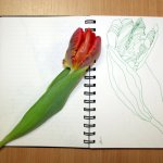 Papageientulpe Blatt 2 (c) Zeichnung von Susanne Haun