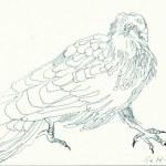 Tauben Version 2 (c) Zeichnung von Susanne Haun