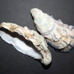 Austern nach dem Spülgang (c) Foto von Susanne Haun