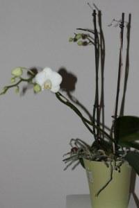 Orchidee (c) Foto von Susanne Haun