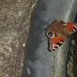 Schmetterling am Teich (c) Foto von Susanne Haun