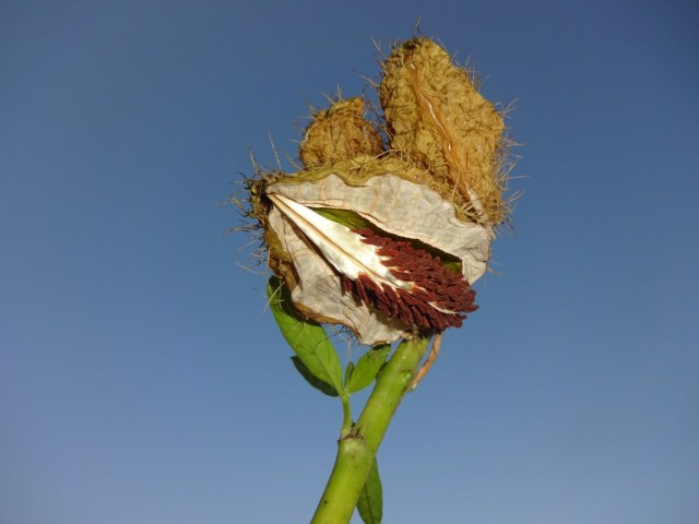 Gomphocarpus physocarpus - Ballonblume (c) Foto von Susanne Haun