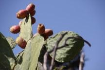 Kaktus Blüte in Marina di Caronia (c) Foto von Susanne Haun