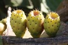 Kaktusblüten (c) Foto von Susanne Haun