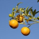 Zitronen in Athen (c) Foto von Susanne Haun