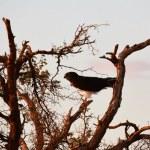 Ein Raubvogel der Namib Wueste (c) Foto von M. Fanke