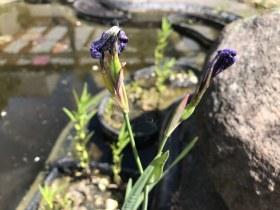 Verbluehte Iris (c) Zeichnung von Susanne Haun