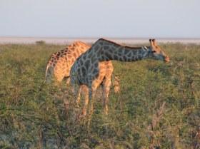 Giraffen im Etosha Nationalpark (c) Foto von Susanne Haun