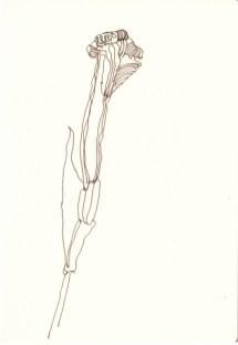 Verblühte Iris (c) Zeichnung von Susanne HauVerblühte Iris (c) Zeichnung von Susanne Hau