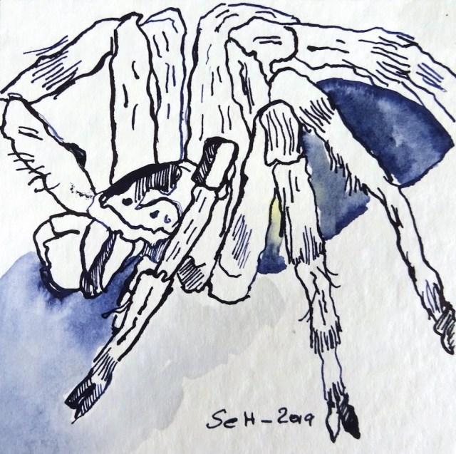 Wüstenspinne, 12 x 12 cm, Tusche auf Aquarellkarton, Zeichnung von Susanne Haun (c) VG Bild-Kunst, Bonn 2019