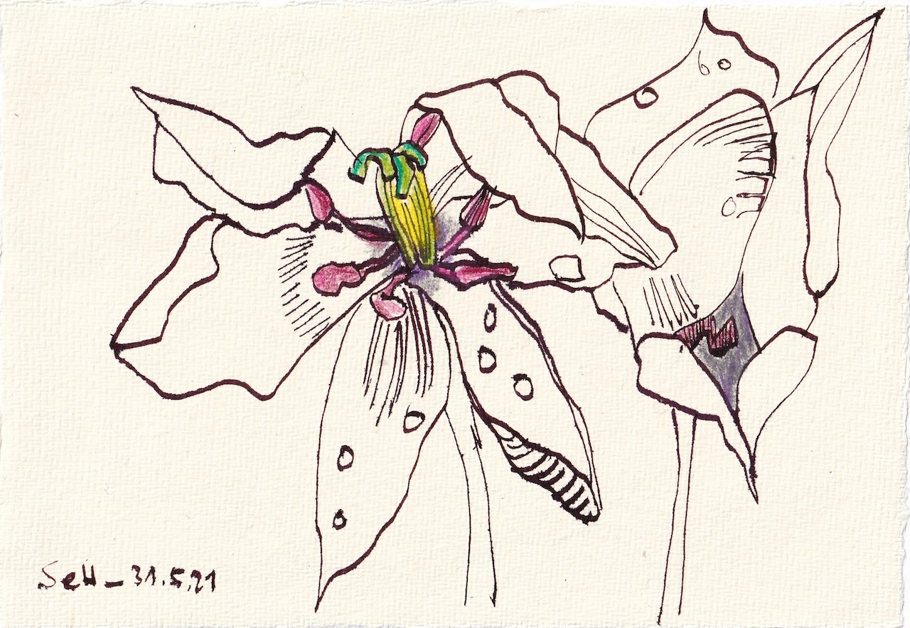 Tagebucheintrag 31.05.2021, Tulpen vergehen, 20 x 15 cm, Tinte und Aquarell auf Silberburg Büttenpapier, Zeichnung von Susanne Haun (c) VG Bild-Kunst, Bonn 2021