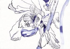 Rittersporn, Version 1, 17 x 22 cm, Tinte und Aquarell auf Silberburg Büttenpapier, Zeichnung von Susanne Haun (c) VG Bild-Kunst, Bonn 2021