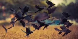 Crows Wherever I Land   Ravitte Kentwortz