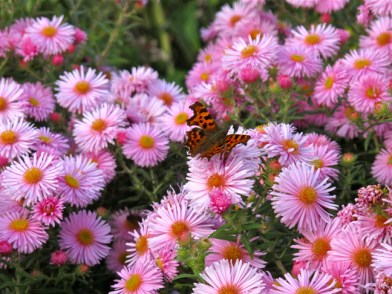 Asters with butterfly