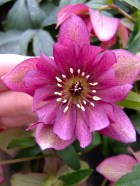 Pink hellebore with interesting form