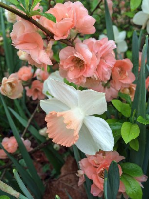'Pink Charm' with flowering quince
