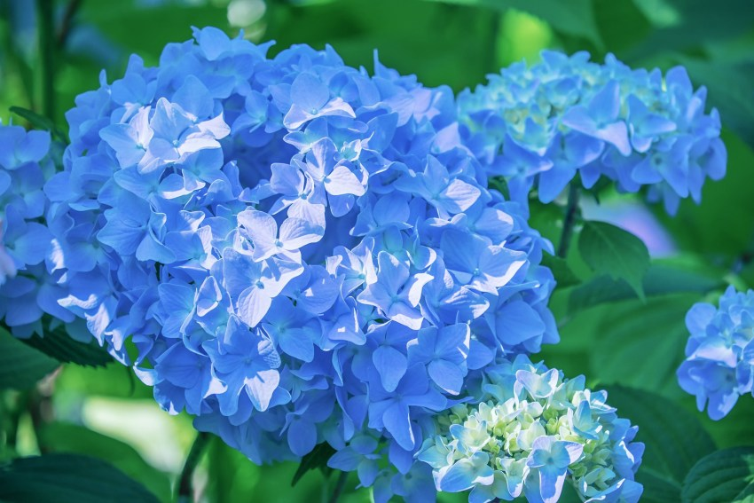 Turning a Hydrangea Blue Naturally using coffee grounds