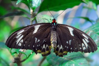 Goth butterfly